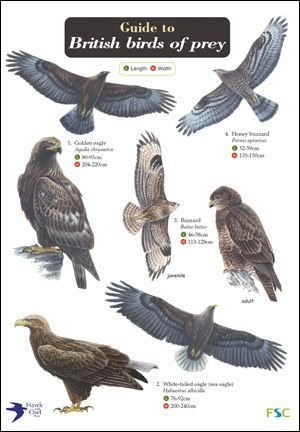 Bird of Prey Identification Guide | Guide to British Birds of Prey