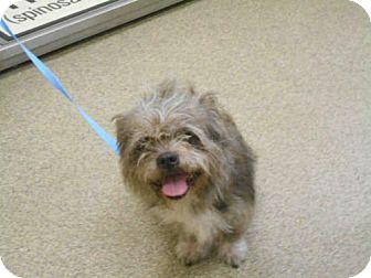 Fort Myers, FL - Shih Tzu Mix. Meet SCRUFFY, a dog for adoption. http://www.adoptapet.com/pet/18508886-fort-myers-florida-shih-tzu-mix