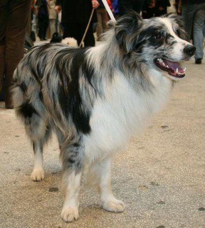 Smart pup - Australian Shepherd / Border Collie Cross