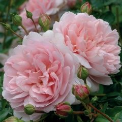 Wildeve - David Austin Roses - for new mixed border (robust & healthy)
