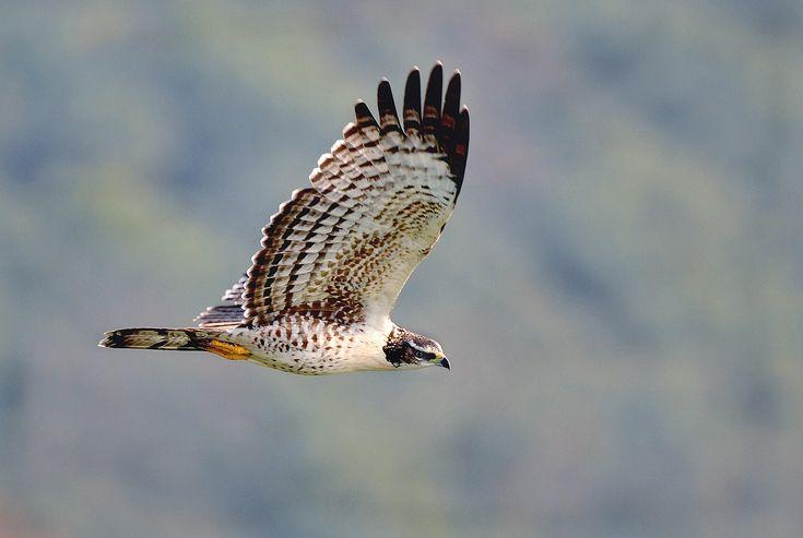 Oriental honey-buzzard(Pernis ptilorhyncus)ハチクマ