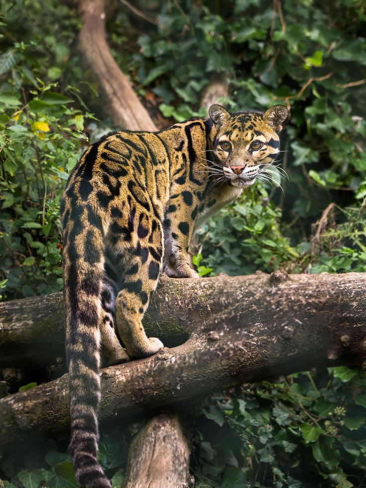 Clouded leopard in tree by John van Beers