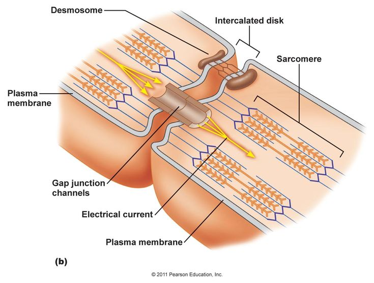 Cardiac muscles