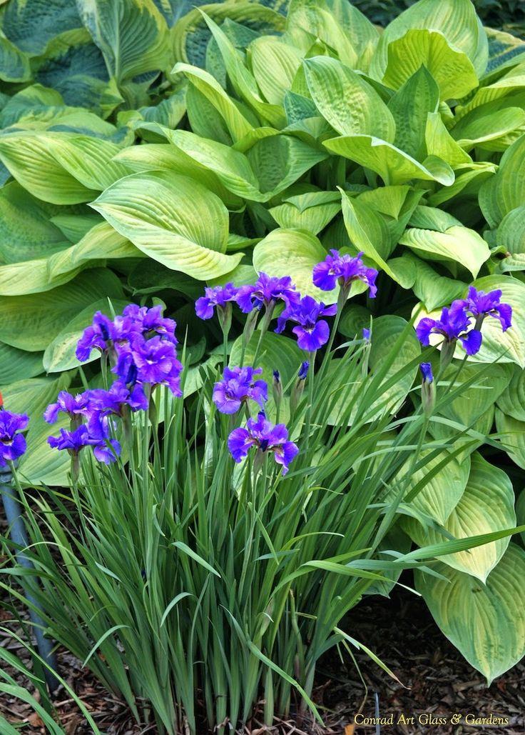 'Ruffled Velvet' Siberian iris with hosta
