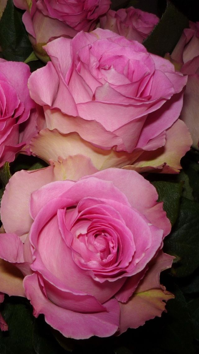 ✿ Beautiful Pink Roses