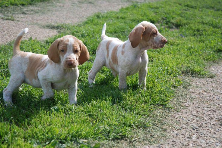 Bracco Italiano Puppies | Rochford, Essex | Pets4Homes
