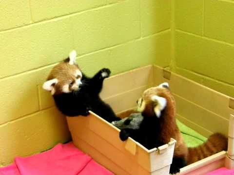 3 mo. old Red Panda babies being adorable