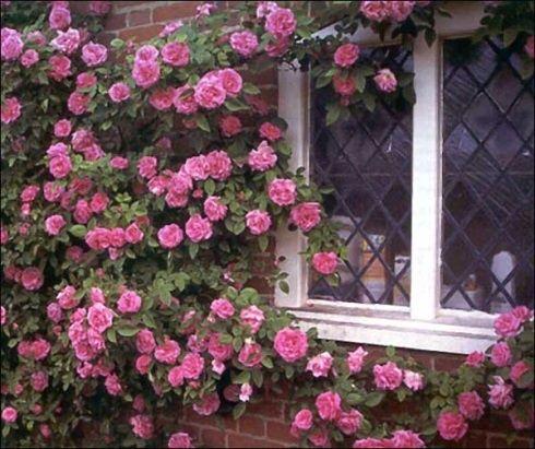 thornless rose kathleen harrop thornless roses. Black Bedroom Furniture Sets. Home Design Ideas