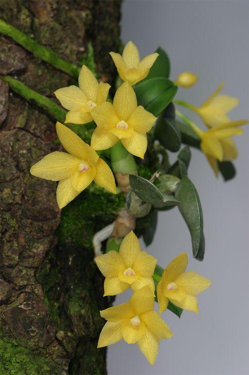 sophronitis cernua amarela