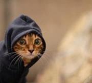 Colbert Cat Ears
