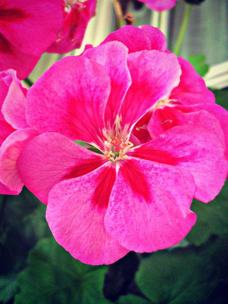 Geranio a foglia di quercia, simbolo di vera amicizia (linguaggio segreto dei fiori vanessa diffenbaugh)