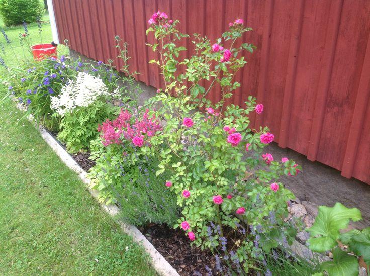 Blå Lavendel, rosa Buskros, rosa Astilbe, Bolltistel , vita Astilbe, blå Tremastablomma, vit koreansk Plymspirea och en blå Riddarsporre är planterade vid min södra vägg. Här finns också en hel del andra växter längs väggen.
