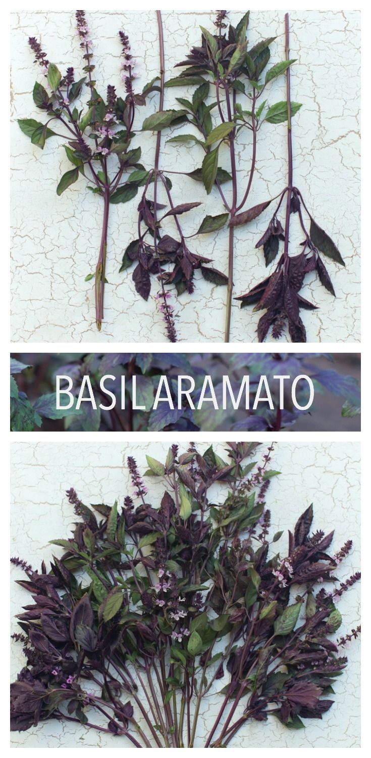 Basil Aramato: One of the most fragrant, easy to grow and abundant summer foliage plants, this handsome variety features tall, deep purple stems, glossy bicolor plum-veined leaves and brilliant amethyst flower spikes. The aromatic foliage is a spicy combination of licorice and mint. Your summer and fall bouquets will never be the same with this growing in the garden. Seeds available from Floret