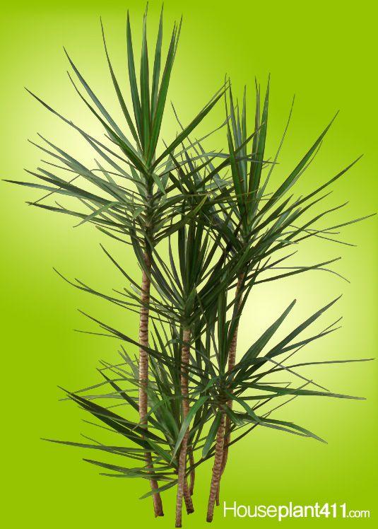 When dracaena marginata houseplants get long bare cut cane back to where you want to - Entretien dracaena marginata ...