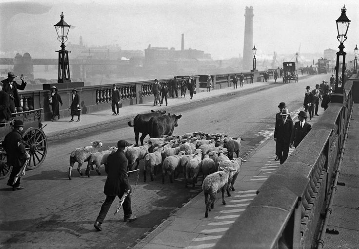 12 interesting vintage photos of sheep on the streets of London in the 1920s and 1930s.