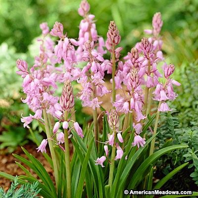Pink spanish bluebells spring bulbs bulbs and gardens clusters of fragrant wood hyacinth provide pink bell shaped flowers that appear in late spring mightylinksfo