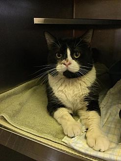 MARTINSBURG, WV - DRACULA is a Domestic Shorthair for adoption who needs a loving home.