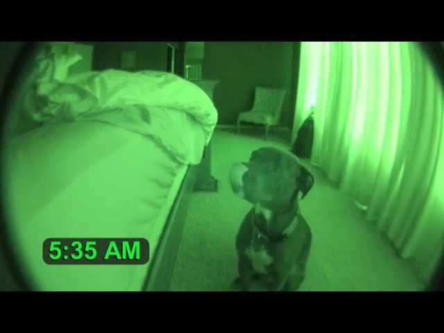 This adorable Pitbull named Grey has this habit of meowing for attention in the morning so the owner set up a camera in night shot mode to capture the cute routine.