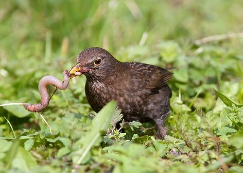 Female Blackbird - Bitten off more than she can chew..