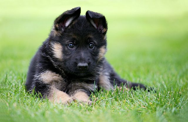 German Shepherd. I love little puppy ears.