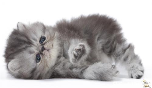 gatto-persiano-branca-recife-FbSocialPet