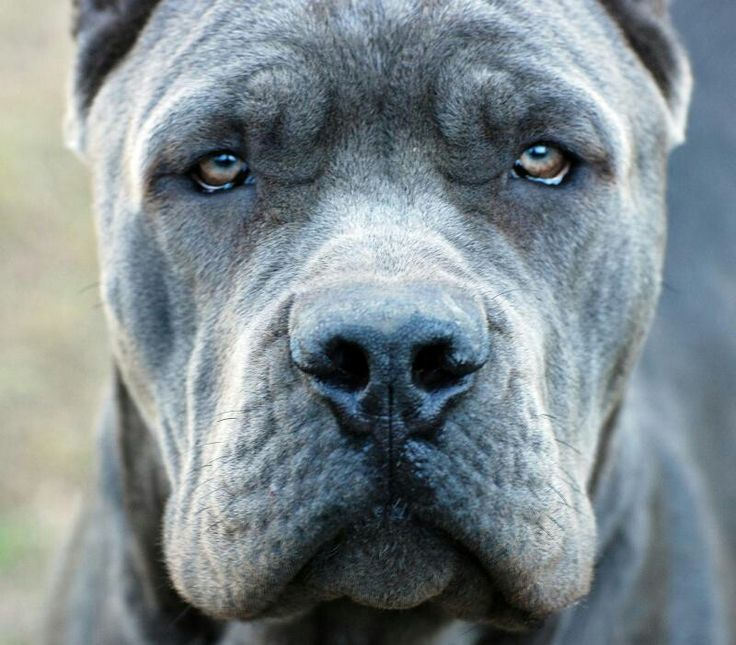 Striking closeup of a Cane Corso dog. Beautiful! looks like my Remington only bigger!!!