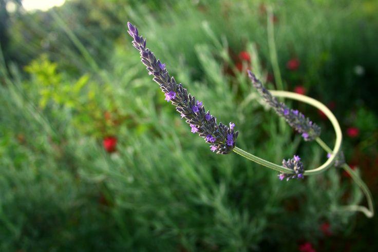 https://flic.kr/p/tBnFq6 | Lavender's curve~