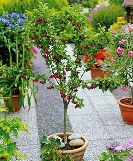 Дивный Сад - Мини-фруктовые деревья