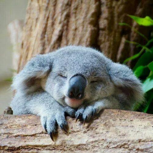 Little koala joey sleeping i koala pinterest koalas - Pics of baby koalas ...