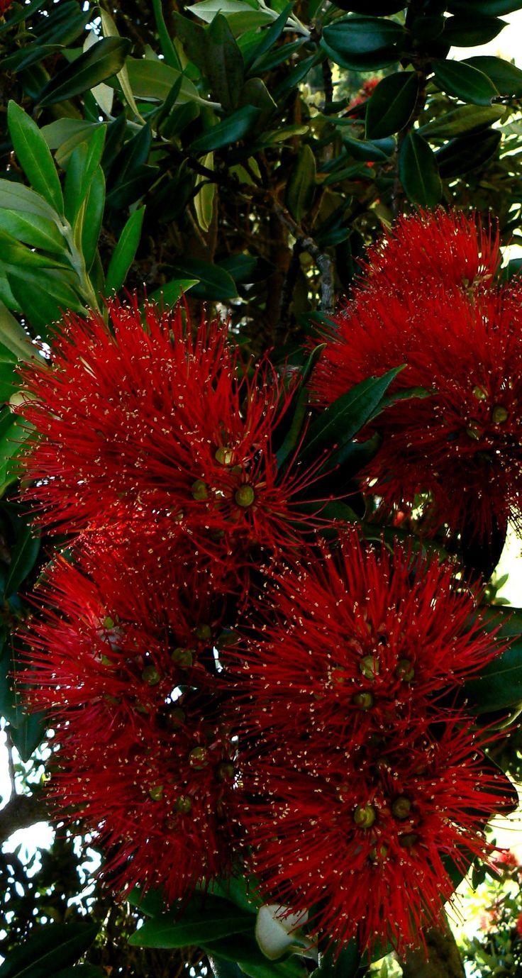 Pohutukawa - Newer Older - NZ Christmas Flower
