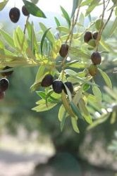 Anleitung zum Olivenbaum schneiden - Wann ist der beste Zeitpunkt?