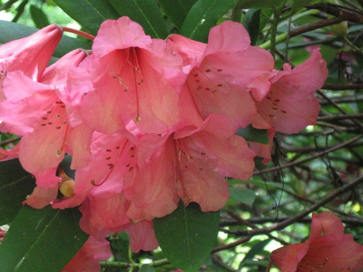 Giant Rhodo from Milner Gardens, Vancouver Is., BC Canada