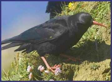 Cornish Chough, The National bird of Cornwall