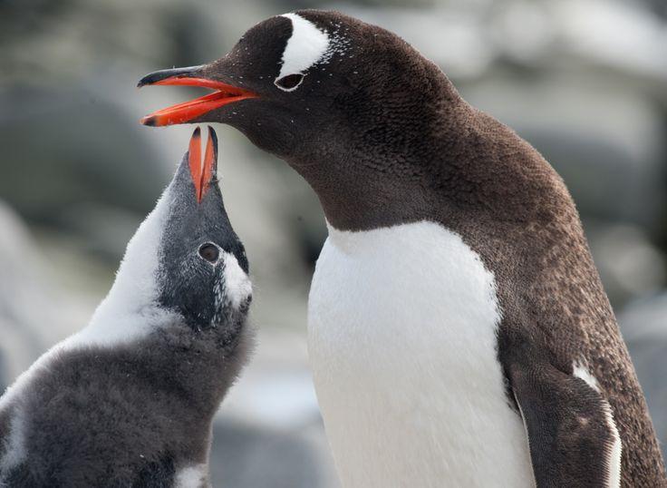 Estos dulces y amistosos anfitriones están esperando su visita. ¡Conocerlos en persona, es realmente #emocionante! Y esto es sólo parte de lo que puede vivir en la #Expedición #Antártida. Visite nuestra web para obtener más información sobre esta #experiencia! #acrossargentina #pinguinos #viajes