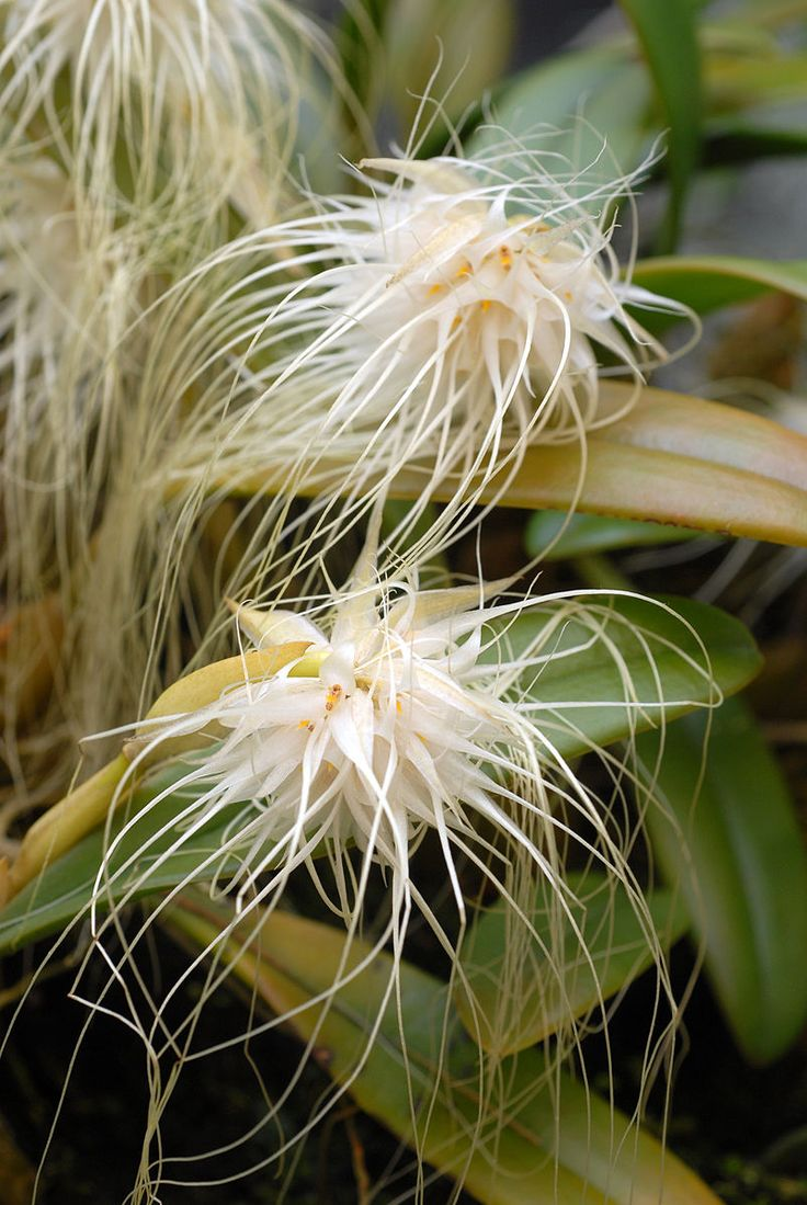 Bulbophyllum medusae- an orchid in one of the largest orchid families