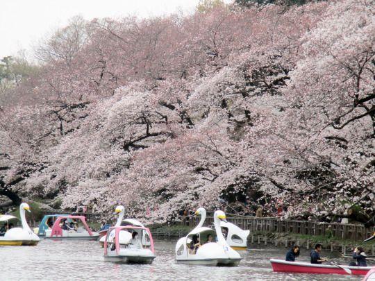 491:「東京の井の頭恩賜公園です。今年は東京の開花宣言以降なかなか満開にならず、この日の井の頭も七分咲きといった感じでしたが、それでも週末とあって多くの人がお花見に訪れていました。特に井の頭恩賜公園の桜は、ボートに乗って愛でる桜が綺麗なので、多くの人がボートからの桜を楽しんでいました。」@井の頭恩賜公園