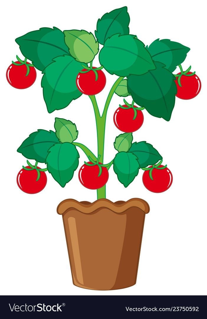 Isolated Tomato Plant In Pot Illustration Download A Free Preview Or High Quality Adobe Illustrator Ai Eps Pdf And High R Plant Cartoon Plants Tomato Plants