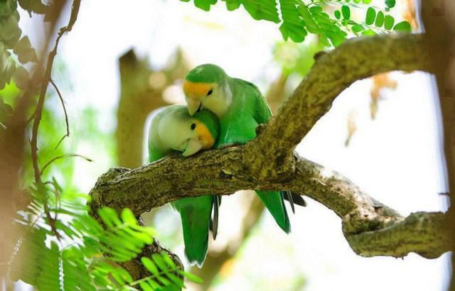 Peach-faced love birds by Brad Pedersen beautiful love birds pictures