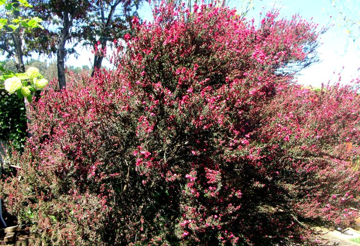 "Red Mānuka. Leptospermum scoparium. Small bushy flowering tree native to New Zealand and Southeast Australia. It's commonly called ""Tea tree"" or ""Mānuka"". Mānuka wood chips give a delicious flavour when used for smoking meats and fish. It is cultivated in New Zealand for mānuka honey, produced by honeybees with nectar from its flowers."