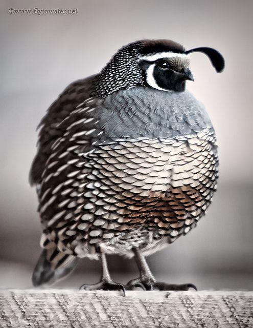 quail (Photo by Brett Colvin)