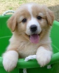 ❤ Shetland Sheepdog Sheltie Dog. I want her! Sooooo cute!
