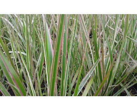 Trzcinnik ostrokwiatowy (Calamagrostis acutiflora) Overdam - Szkółka Bylin | KrainaBylin