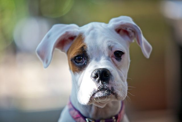 cute white boxer puppy