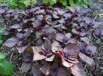 Basilic japonais à feuilles pourpre, Shiso, Perilla frustescens