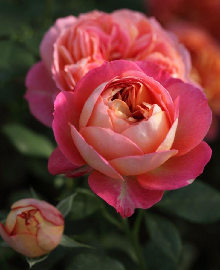 Baby Romantica : Climbing Rose Bush : FamousRoses.eu