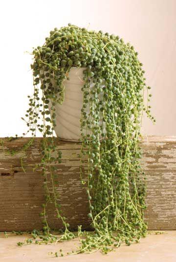 Zöldborsólevelű aggófű (Senecio rowleyanus)
