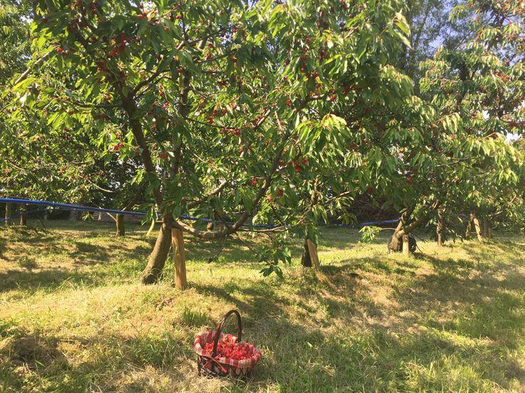 Sant'Anna, autoraccolta ciliegie a Valbrembo