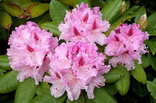 IL SIGNIFICATO DEI FIORI #RODODENDRO  Il significato del rododendro, considerato il re degli arbusti tra le piante da fiore sempreverdi dei paesaggi temperati, è un simbolo di eleganza, di bellezza e di temperanza in virtù della moderazione.