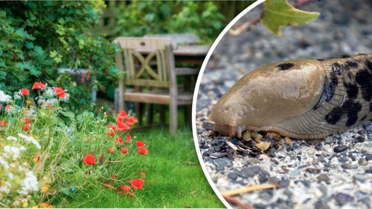 Läskiga pantersniglarna – de räddar din trädgård | Leva & bo
