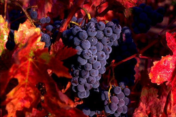 Zinfandel Grapes, a fine art photographic print by renowned photographer David Ryan on Etsy ($30)